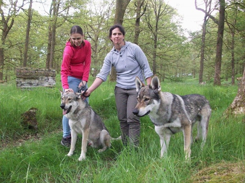 Walking with Wolves - Predator Experience   Cumbria Falconry Days ...